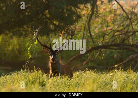 Stag In Grassy Landscape - Stock Photo