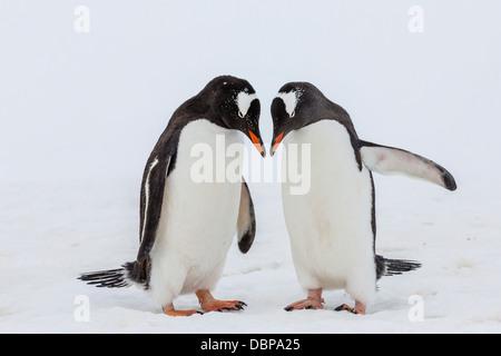 Adult gentoo penguins (Pygoscelis papua) courtship display, Neko Harbor, Antarctica, Southern Ocean, Polar Regions - Stock Photo