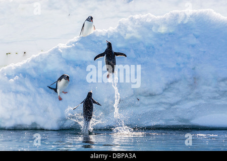 Adult gentoo penguins (Pygoscelis papua) leaping onto ice in Mickelson Harbor, Antarctica, Southern Ocean, Polar - Stock Photo