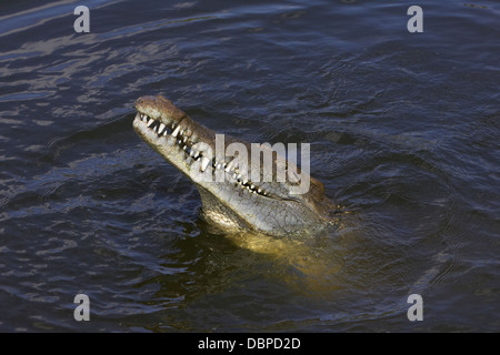 American crocodile (Crocodylus acutus) with head out of the water - Stock Photo