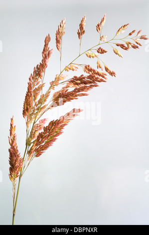 Yorkshire Fog Grasses, Holcus lanatus, portrait of brown head flowers with nice out focus background. - Stock Photo