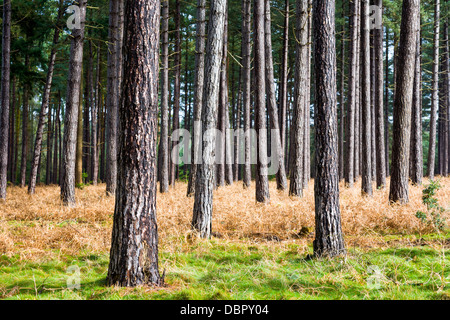 Pine tree trunks in Thetford Forest in East Anglia, UK - Stock Photo