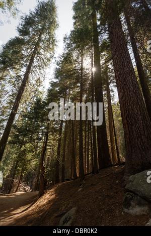 Hillside full of tall endangered Giant sequoia Sequoiadendron giganteum redwood tree trunks in Yosemite National - Stock Photo