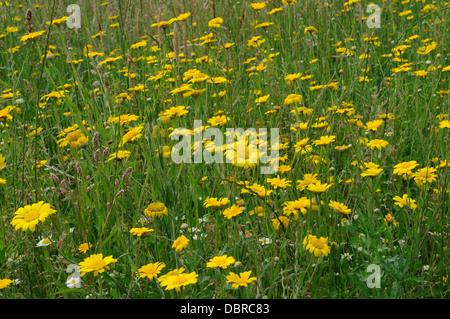 Yellow Chamomile flowers Anthemis tinctoria growing in an organic meadow - Stock Photo