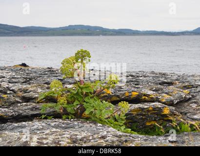 Angelica archangelica ssp. litoralis, Garden Angelica or wild celery, on the  North Sea coastline near Stavanger - Stock Photo