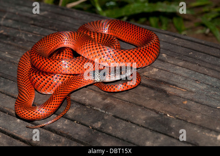 Black-headed calico snake (AKA Tschudi's false coral snake), Tambopata National Reserve, Peru - Stock Photo