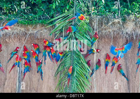 Red-and-green macaws at Chuncho culpa (clay lick) in Tambopata National Reserve, Peru Stock Photo