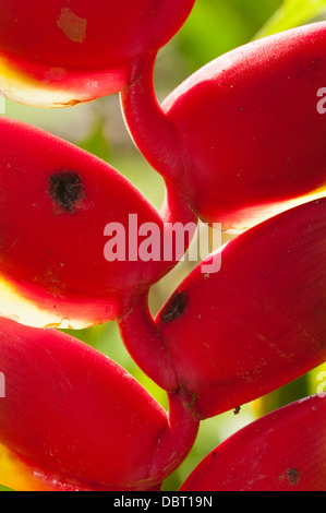 Bird-of-Paradise (Heliconia) in the Tambopata National Reserve Peru - Stock Photo