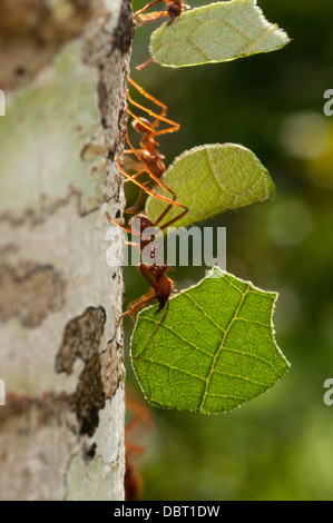 Leafcutter ants (Atta sp.) on tree in the Tambopata National Reserve in Peru - Stock Photo