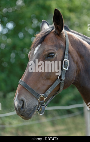 Portrait of a Thoroughbred horse wearing a head collar - Stock Photo