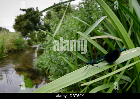 Banded Demoiselle, Calopteryx splendens male - Stock Photo