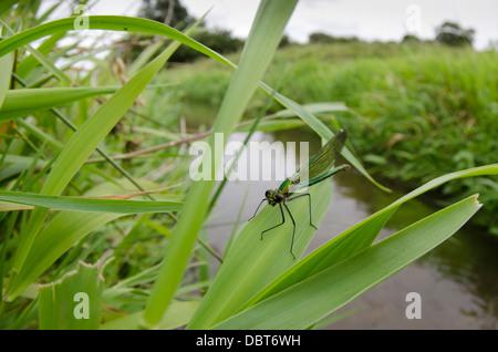 Banded Demoiselle Calopteryx splendens female - Stock Photo