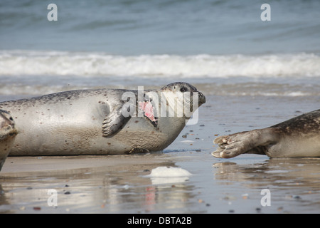 An injured grey seal Halichoerus grypus, Helgoland, North Sea - Stock Photo