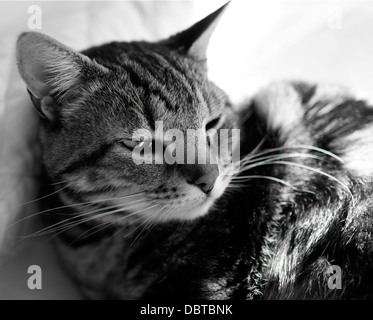 Black and white shot of photographer's domestic cat (felis catus) lying on bed. - Stock Photo
