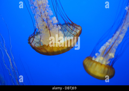 Pacific sea nettles, Chrysaora fuscescens, also known as West Coast nettles, native to the eastern Pacific Ocean. - Stock Photo