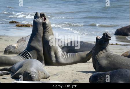 Northern elephant seals, Mirounga angustirostris, hauled out at Piedras Blancas beach, San Simeon, CA - Stock Photo
