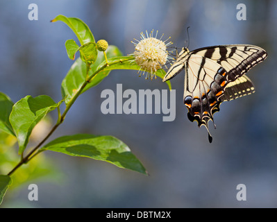 Eastern Tiger Swallowtail butterfly (Papilio glaucus) on Buttonbush - Stock Photo