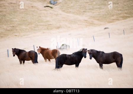 Icelandic horses, Iceland, Polar Regions - Stock Photo