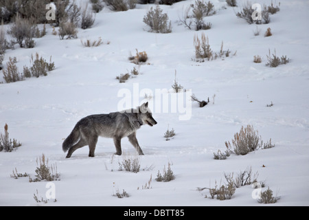 Gray wolf (Canis lupus) 755M of the Lamar Canyon Pack, Yellowstone National Park, Wyoming, USA - Stock Photo