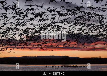 Lesser snow geese in flight at sunrise, greater sandhill cranes, Bosque del Apache National Wildlife Refuge, New - Stock Photo