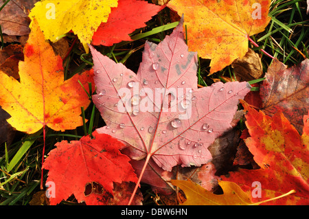 Close-up of Wet Colorful Maple autumn Leaves in the Fall / Autumn - Stock Photo
