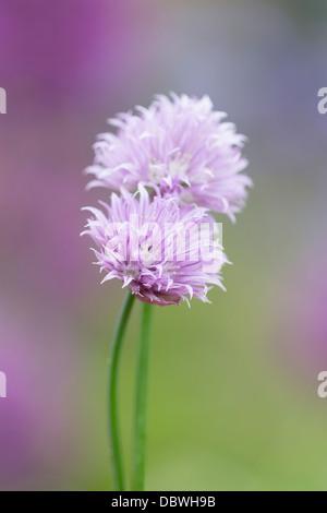 Allium schoenoprasum - Chives Flowers - Stock Photo