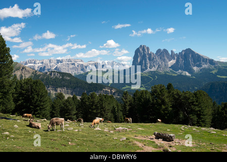 Kühe auf Weide vor Langkofel und Sella - Cows on meadow with sassolungo and sella - Stock Photo