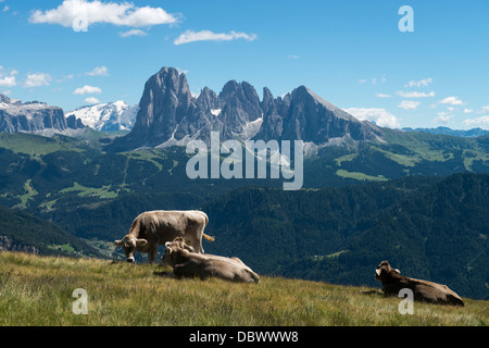 Cows on meadow with sassolungo and sella - Stock Photo