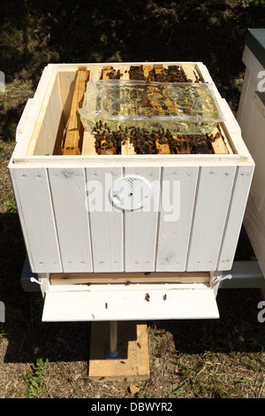 Feeding European honey bee (Apis mellifera) colonies with inverted sugar syrup. - Stock Photo