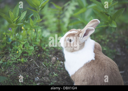 Brown beige and white rabbit sitting amongst grass - Stock Photo