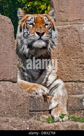 Aysha, Bengal Tiger (panther tigris tigris), Isle of Wight Zoo, Sandown, Isle of Wight, Hampshire, England - Stock Photo