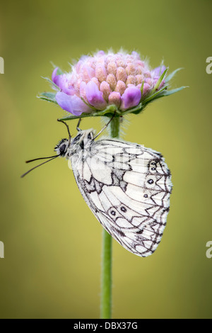 Marbled white butterfly sheltering under field scabious flower - Stock Photo