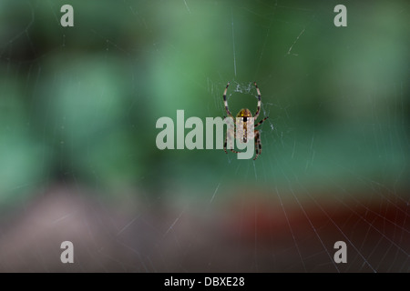Labyrinth orbweaver spider (metepeira labyrinthea) at the center of its web - Stock Photo