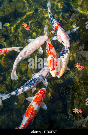 Koi or gold fish in a pond with a water lily stock photo for Japan koi pool