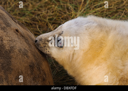A grey seal pup (Halichoerus grypus) suckling from its mother on flattened grass in the sand dunes at Donna Nook, - Stock Photo