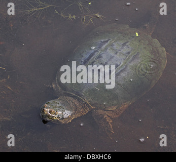 Snapping Turtle Body - Stock Photo