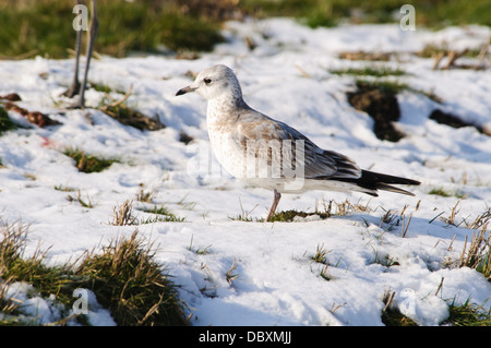 A juvenile common gull (Larus canus) standing on frozen and snow-covered marshland on the Isle of Sheppey, Kent. - Stock Photo