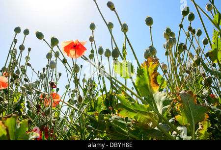 Poppyhead in the poppy field. View from the ground. - Stock Photo