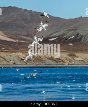 Northern Gannets diving for food, Kolgrafarfjordur fjord, Iceland. - Stock Photo