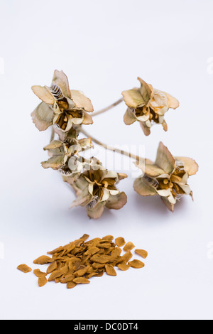 Fritillaria imperialis. Ripe seeds spilling from a seed pod on a white background. - Stock Photo