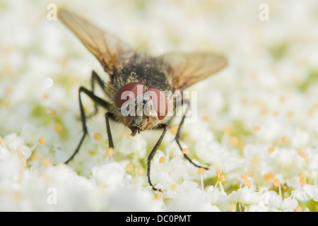 Tachinid fly perched on a white flower - Stock Photo