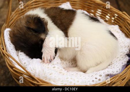 little puppy dog sleeping in basket - Stock Photo