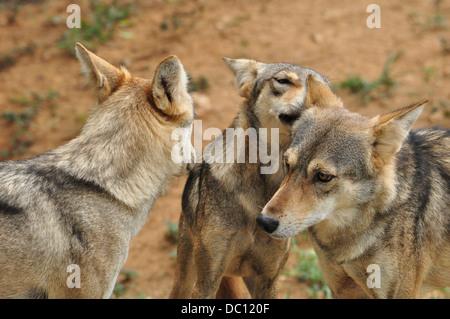 Indian Gray Wolfs - Stock Photo