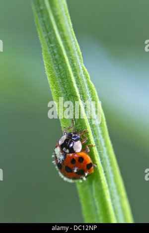 Multicolored Asian Lady Beetle (Harmonia axyridis) infected with Laboulbeniales fungus - Stock Photo
