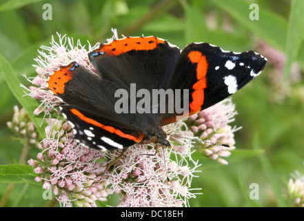 Red admiral butterfly (vanessa atalanta), dorsal view - Stock Photo