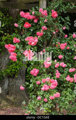 rosa 39 rosarium uetersen 39 climbing hybrid tea rose. Black Bedroom Furniture Sets. Home Design Ideas