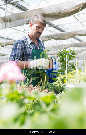 Organic farmer watering young plants in polytunnel - Stock Photo