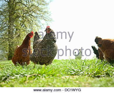 Small group of free range hens - Stock Photo