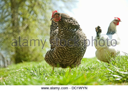 Two free range hens in field - Stock Photo