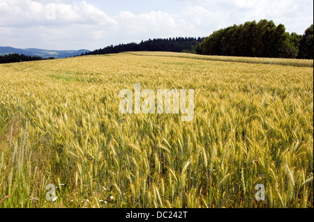 Wheat on a cornfield in Germany - Stock Photo